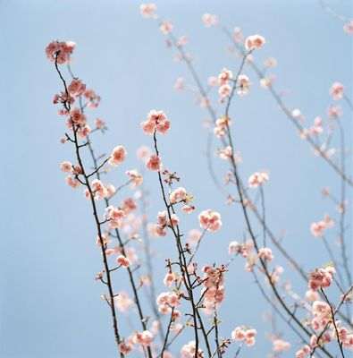 Pink_blossoms-artspace