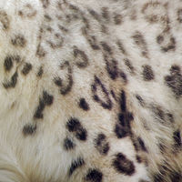 Snow-leopard-society6