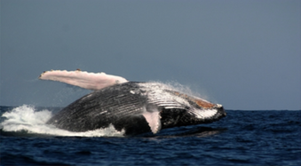 Product Outrigger Whale Watch (1.5 hr)