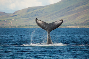 Deluxe Lahaina Whale Watch With Lunch