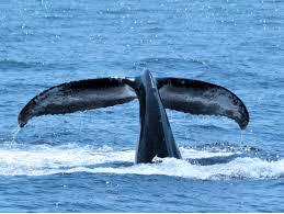 Product The Ritz-Carton Seasonal Whale Watch