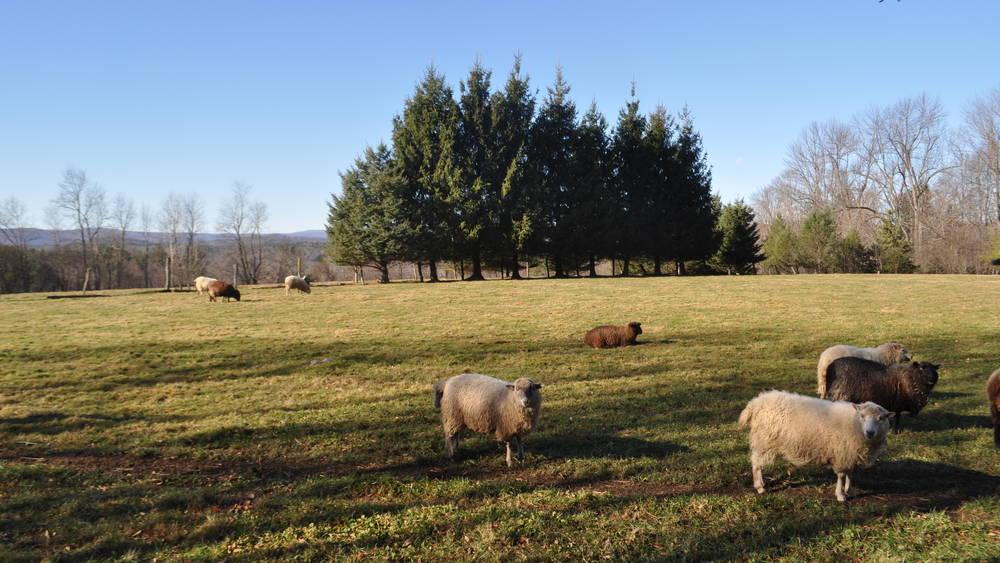 Sheep Farm and Pasture