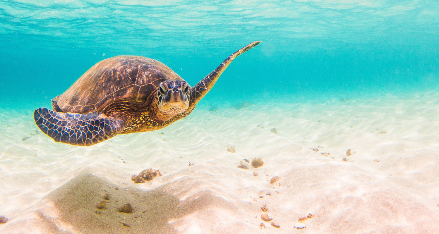 Sea Turtle Swimming in Clean Water