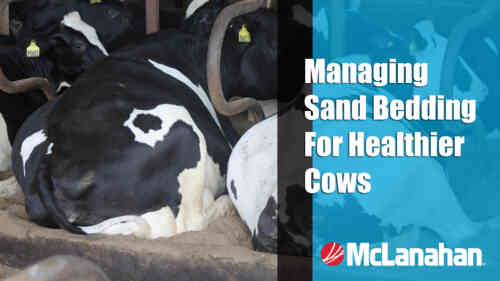 Managing Sand Bedding For Healthier Cows