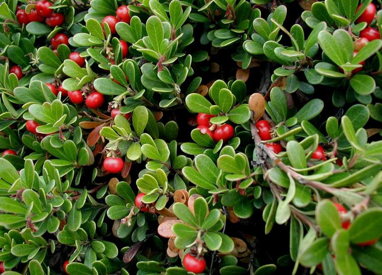 Bearberry extract contains arbutin, which naturally lightens and brightens the skin, making it a very useful for the treatment of post-acne dark spot, correcting hyper-pigmentation left behind after a pimple. .