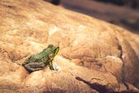 McGregor Bay Frog