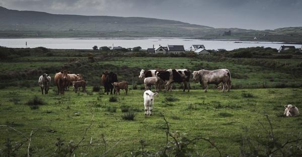 Cows - Ireland