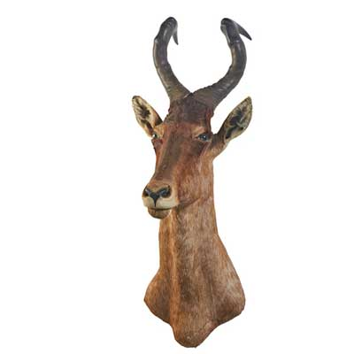 TAXIDERMY; Red hartebeest mount;...