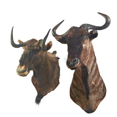TAXIDERMY; Two wildebeest mounts,...