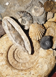 A COLLECTION OF VARIOUS FOSSILS