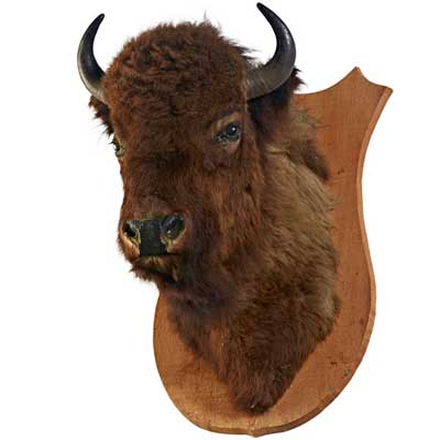 TAXIDERMY; Bison shoulder mount;...