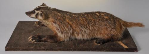 Full Body Taxidermy Badger