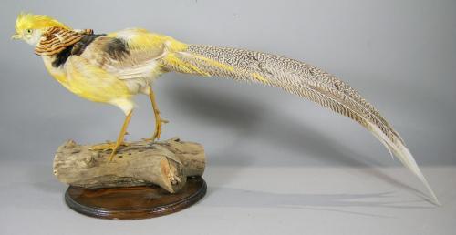 Taxidermy Exotic Yellow Pheasant
