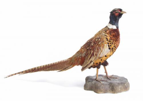 Taxidermy Ringneck Pheasant