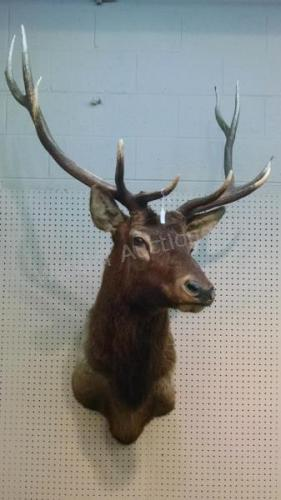 American Elk Taxidermy Mount