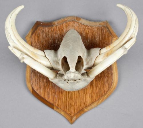 Taxidermy: Mounted Warthog Jawbone