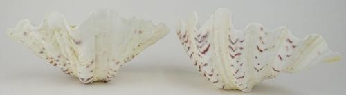 Pair Giant Sea Shells. Natural Shells with Bottoms flattened to stand for serving or display.