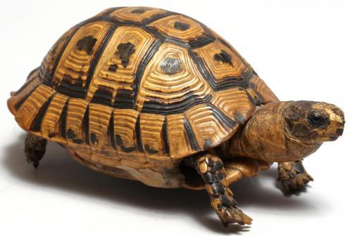 Small Taxidermy Tortoise