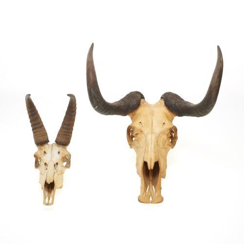 (2) Taxidermy horned skulls