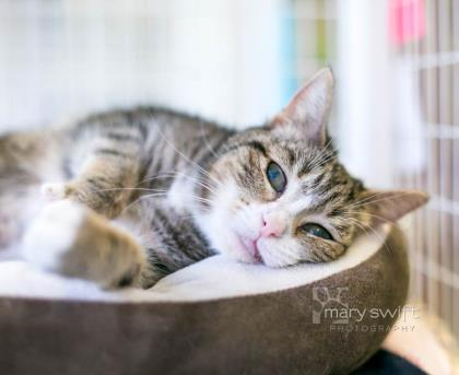 Tiger Lily Tabby CAt