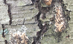 "$100 for 1 Gypsy Moth Treatment Injection for 1 Tree Up to 20"" (DBH)"