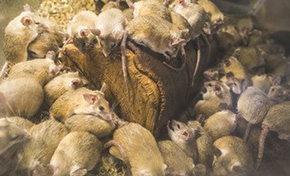 $95 for Rodent Infestation Inspection, Plus and Attic Insulation Inspection