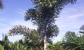 $185 for Delivery and Installation of a 10-Foot Foxtail Palm Tree