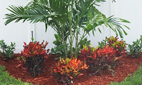$250 for Installation of a 25 Gallon Triple Adonidia merrillii 'Christmas Palm' Clump
