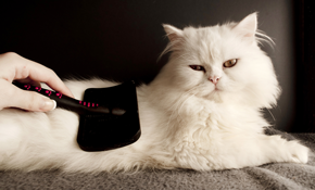 $63 for In-Store Short Hair Cat Grooming