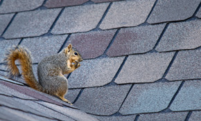 $350 Chipmunk or Squirrel Removal Package Up to 3,000 Square Feet