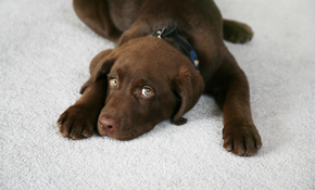 $135 for 6 Areas of Carpet Cleaning and Deodorizing