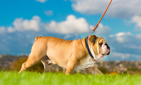 $32 for 2, 25 Minute Dog Walking Sessions