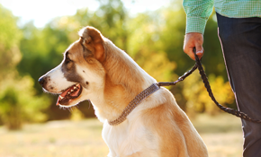 $306 for 20 Dog Walking Sessions 30 Minutes Each