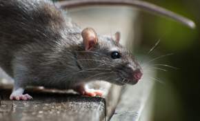 $399 for Eco-Sense Rat Removal and Exclusion Package