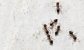 $89 Ant, Spider or Flea Treatment Plus Termite Inspection
