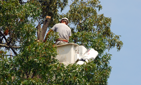 $2,999 for 3-Person Tree Crew and Bucket Truck with Chipper