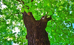 $219 for $500 Credit Toward Professional Tree Service