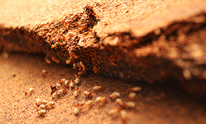 $629 for a Termidor Termite Treatment and Prevention Package