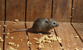 $550 for an Interior Mouse or Rat Treatment with 1-Year Guarantee