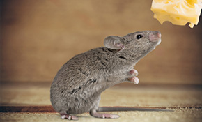 $129 for Rodent Trapping, Removal and Inspection Package Including Pest Control Treatment