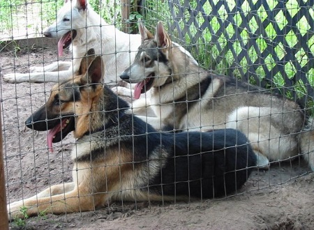 affordable German Shepherds