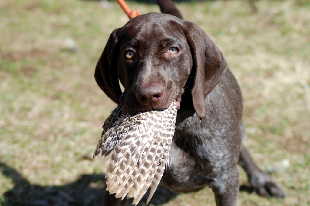 Hunting dogs for sale services a leading hunting dogs for sale