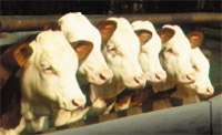 Beef cattle in feedlot 200x120 jpg