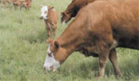 Beef cattle grazing 200x110 jpg