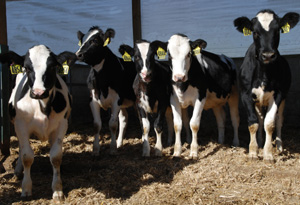 dairy heifers from dl cropped 300w