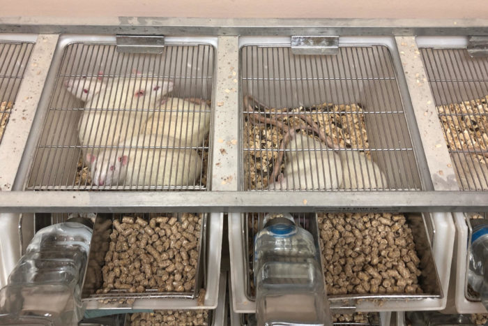 Rats in the on-campus breeding center at Sultan Qaboos University  (Photo: Benjamin Plackett).
