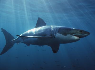 Vocabulaire anglais shark