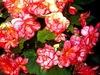20120714131822-big_pink_begonias