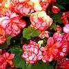 20120714165638-20120714131822-big_pink_begonias