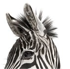 20121004070831-andrew-zuckerman-zebra